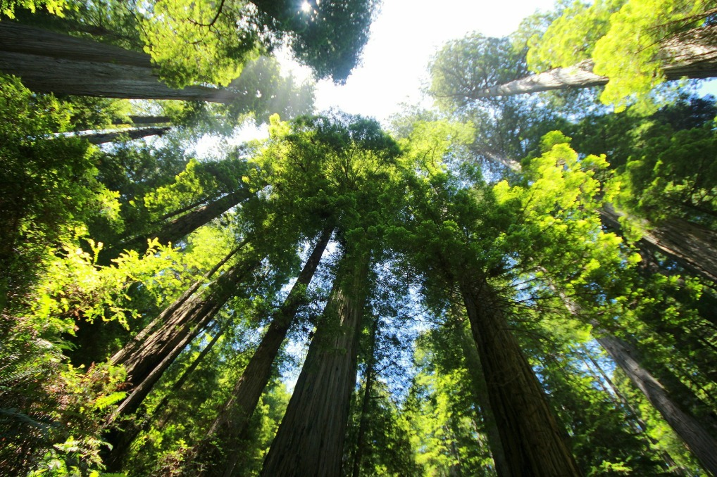 sequoia-274158_1920.jpg